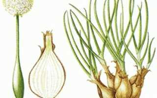 Рассада лука шалота из семян. Получаем рассаду шалот — выращивание дома. Выращивание и уход
