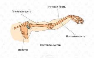 Трицепс (трехглавая мышца плеча). Его функции и строение. Анатомия мышц рук. Качаемся правильно