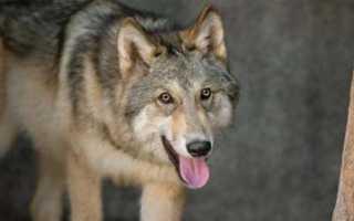 Что значит пословица волка ноги кормят. Волка ноги кормят? Русские пословицы, которые изменились до неузнаваемости