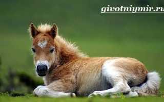 Лошадки родом из детства — пони. Размножение и продолжительность жизни