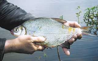 Рыба похожая на подлещика. Способ ловли густеров