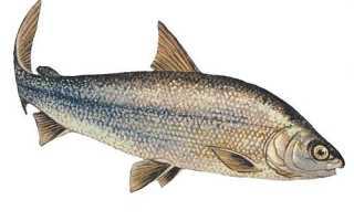Рыба муксун: рецепты приготовления. Места обитания муксуна
