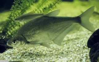 Рыба синец рецепты. Рыба синец: описание, распространение, размножение