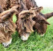 Осёл пуату или мамонтовый (гигантский) осёл Equus Asinus Asinus. Осел Пуату (Baudet de Poitou), или мамонтовый осел