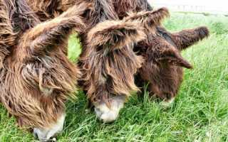 Осел в домашних условиях — породы домашних ослов. Осёл пуату или мамонтовый (гигантский) осёл Equus Asinus Asinus
