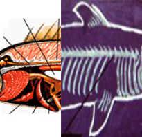 Чем отличается строение костных рыб от хрящевых. Чем костные рыбы отличаются от хрящевых — различия и строение