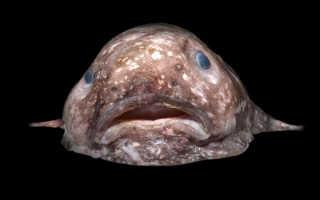 Рыба капля фотографии. Внешние особенности рыбы-капли. Многие задаются вопросом едят ли рыбу капля