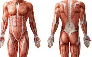 Сколько мышц в теле. Сколько мышц в теле человека: какие из них меняют выражения лица