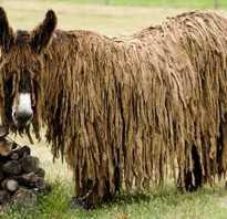 Самый большой в мире осел пуату. Длинношерстный осёл или осёл пуату (англ. Poitou Donkey)
