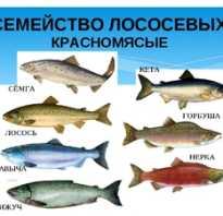 Чем отличается кета от горбуши. Что полезнее лосось или горбуша