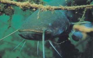 Сообщение о рыбе сом. Рыба сом обыкновенный, где живёт и как выглядит