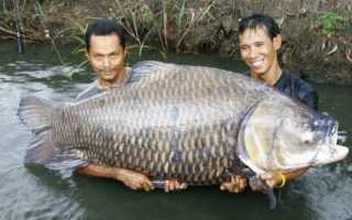 Самый большой карп водится в таиланде. Самый большой карп, пойманный на удочку