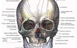 Строение мышц лица человека анатомия. Анатомия мимических мышц. Сосудистая и нервная ткань лица