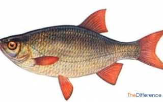 Разница между красноперкой и плотвой. Красноперка: описание рыбы и отличия от плотвы