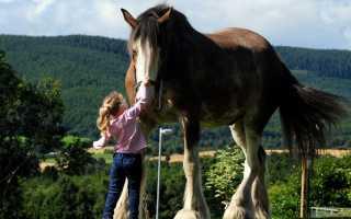 Самые большие, мощные и высокие лошади мира. Самая тяжелая лошадь в истории и современности