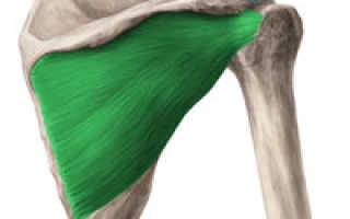 Надостная мышца плеча сухожилие функция. Мышцы. Надостная и Подостная. Выбор тактики лечения