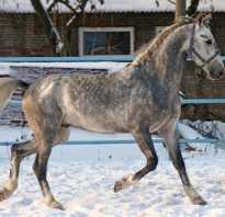 Текст песни александр розенбаум — серый в яблоках конь. Серая в яблоках масть лошади(подмасток)