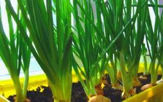 Лук на окне зимой. Как посадить лук на зелень на подоконнике: правила хорошего урожая. Как правильно удобрить лук, выращиваемый на подоконнике