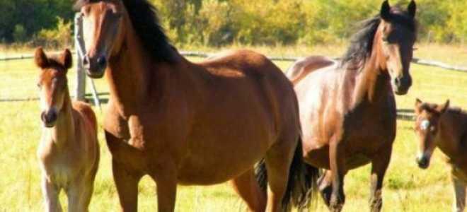 Сколько лет живет лошадь продолжительность. Срок жизни в домашних условиях. Факторы, определяющие продолжительность жизни