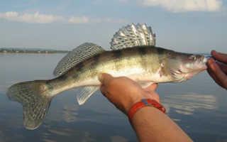 Отличие судака от берша. Рыба берш. Чем отличается Берш от судака, внешний вид и виды