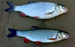 Рыба язь, ее отличие от голавля и где она обитает. Чем питается красноперка? Виды красноперок, фото и названия