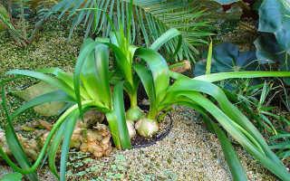 Лечебный лук комнатное растение. Лечебные свойства настойки индийского лука. Чудо из семейства лилейных, или откуда ты родом, индийский лук