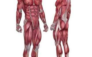 Промежуточные волокна мышц как тренировать. Быстрые и медленные мышечные волокна. Почему результаты бодибилдеров отличаются от результатов других спортсменов