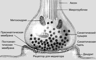 Структура и функции нервно-мышечного синапса. Нервно-мышечная передача